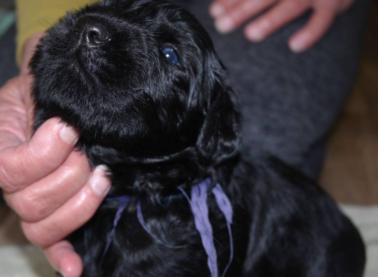 Puppy Black Russian Terrier