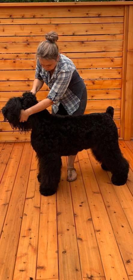IL Bagheera JOY Black Russian Terrier Grooming_
