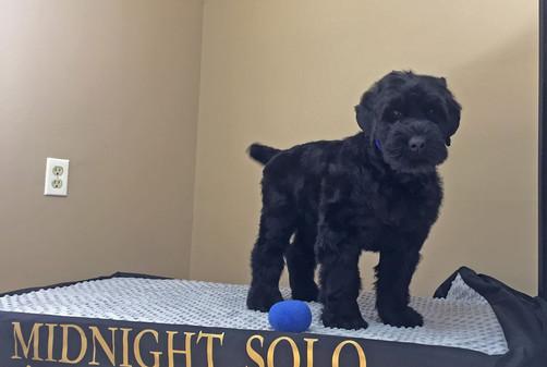 black russian terrier puppy blue