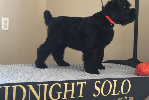 black russian terrier red color