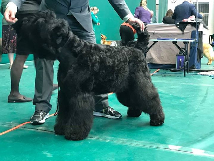 Show Grooming for Black Russian Terrier