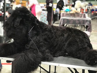 Black Russian Terrier on a grooming tabl