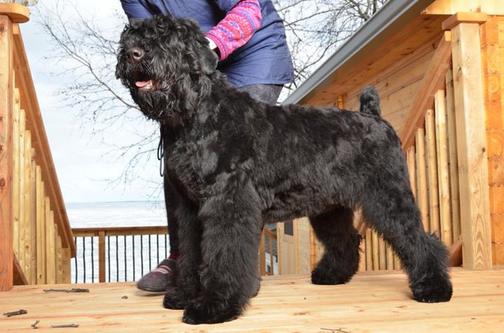 Black Russian Terrier Puppy Grooming