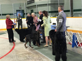 Makovey Black Russian Terrier  GR4