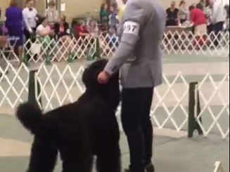 National Specialty 2019 Black Russian Terrier Competition