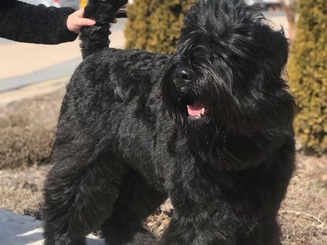 Black Russian Terrier at Windsor All Breed Training & Tracking Club