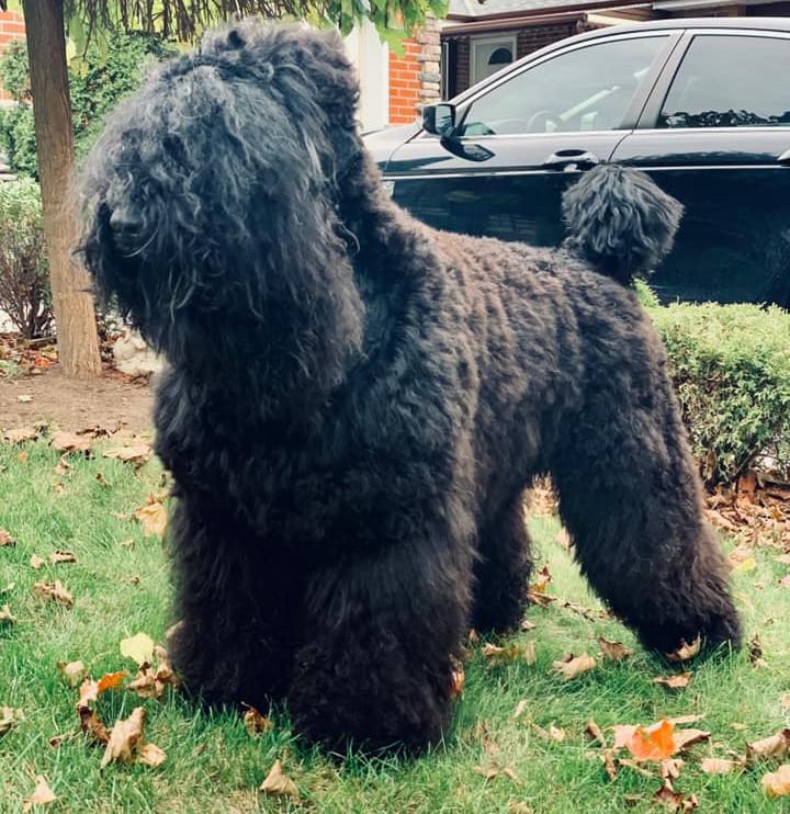 Black Russian Terrier Makovey Noch Na Kupalu washed