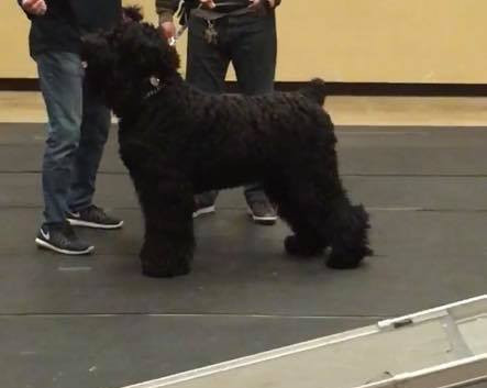 Bagheera_Black_russian_Terrier_grooming_