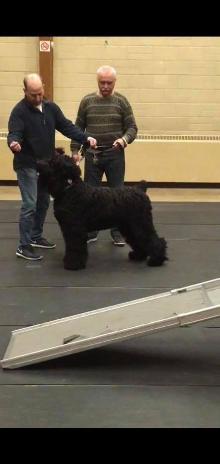 Bagheera_Black_russian_Terrier_grooming_
