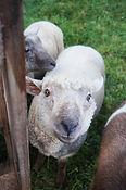 mouton animaux à la ferme