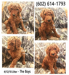 The Boys - Little from April 2018 – pedigree poodles in Scottsdale, AZ