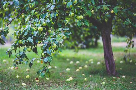 Local fruit tree, New Zealand