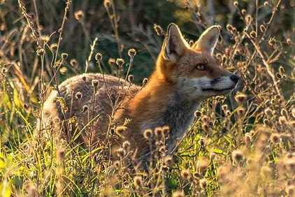 010 fox.jpg