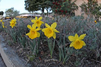daffodil2013e.png