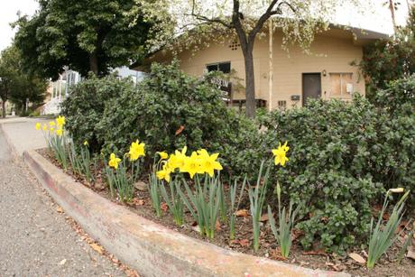 daffodil2013h.png