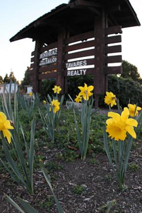 daffodils2013m.png