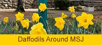 home-daffodils2.png