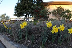 daffodil2013j.png