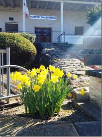 daffodils-2017-c.jpg