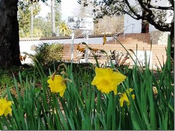 daffodils-2017-a.jpg
