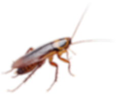 cockroach-600x483---600x483_edited.png