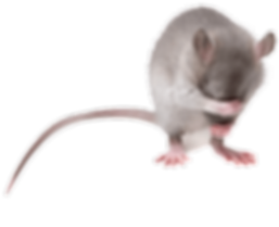 mice-removal-in-vancouver.png