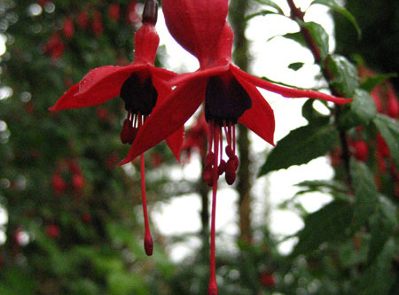 Fuchsia magellanica, West Cork's adopted alien.
