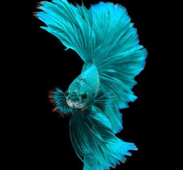 Peixes betta morrem rápido?