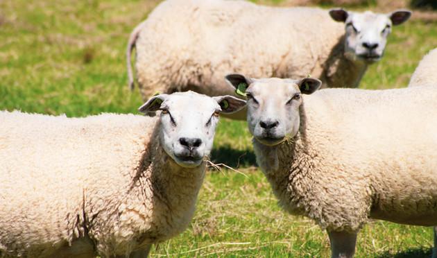Sheep at Andijk, The Netherlands
