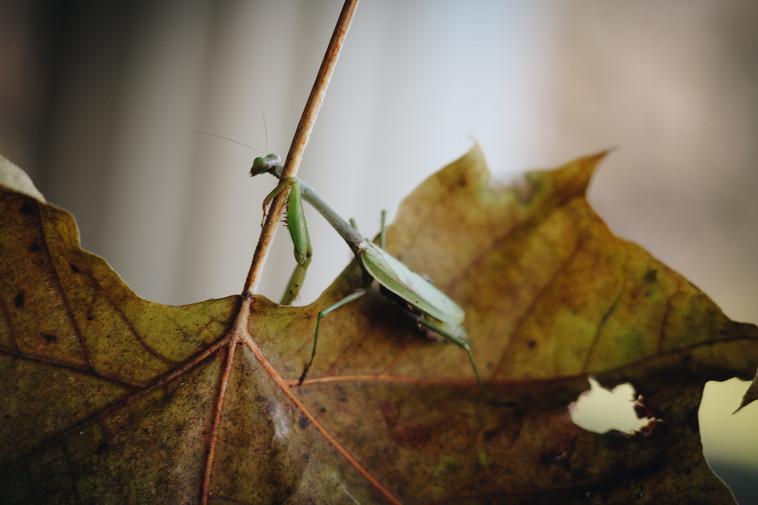 praying mantis 2-1.jpg