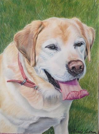 Labrador pastel portrait