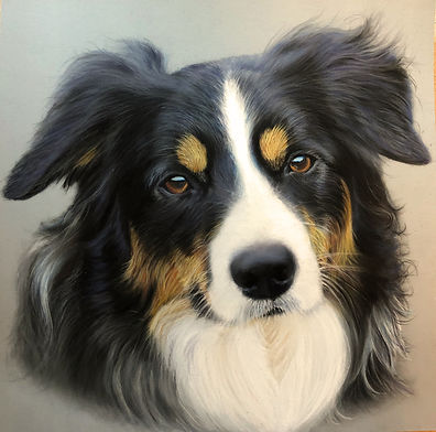 Collie mix pet portrait