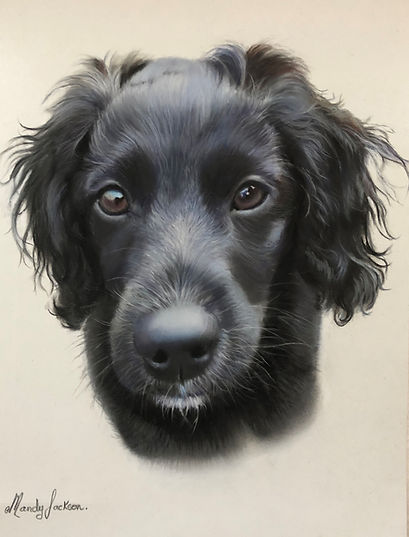 Black Spaniel Pet Portrait