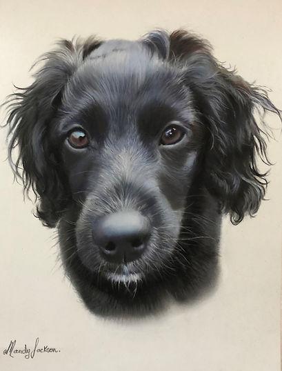 Black Spaniel Pet Portrait