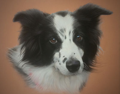 Border Collie Pet Portrait
