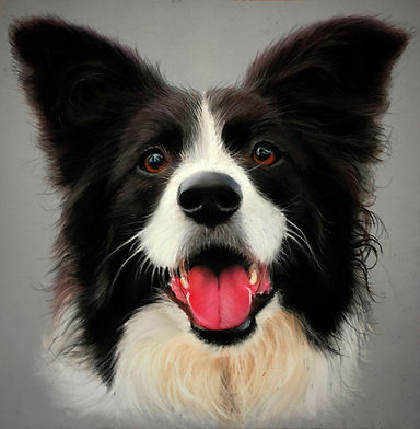 Border Collie Pet Portrait