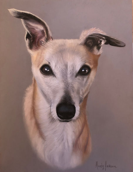 Whippet Pet Portrait
