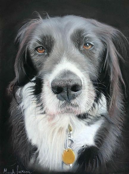 Collie cross Pet Portrait