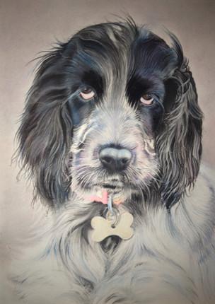 Spaniel pastel portrait