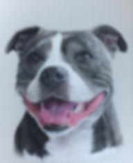 Staffy pet portrait