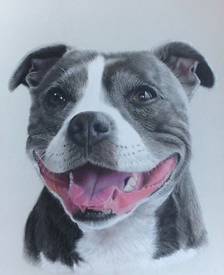 Staffy pet portrait