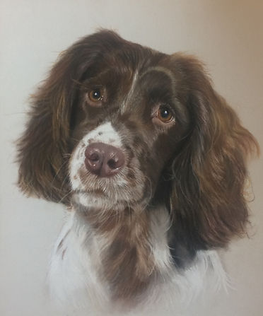 Springer Spaniel Pet Portrit