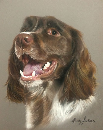 Springer Spaniel pet portrait