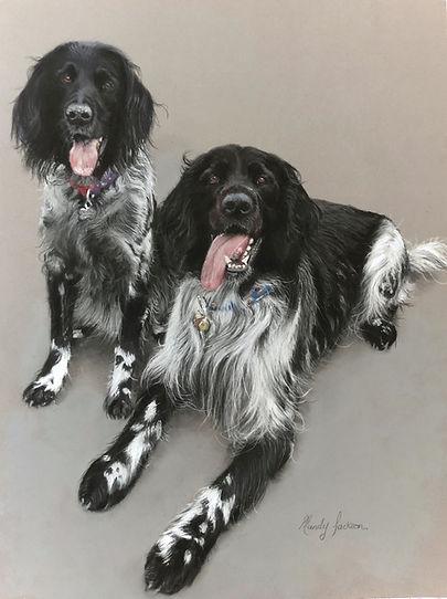 Blac & white springer spaniels pet portrait