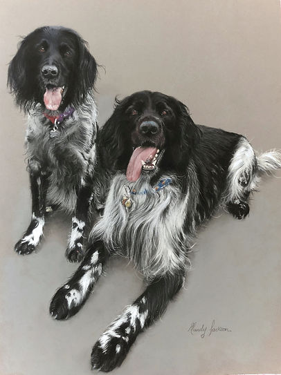 Blac & white springer spaniels pet portrait