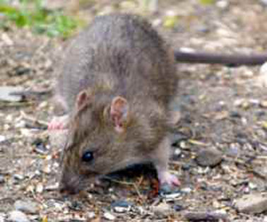 What To Do About Wild Rats