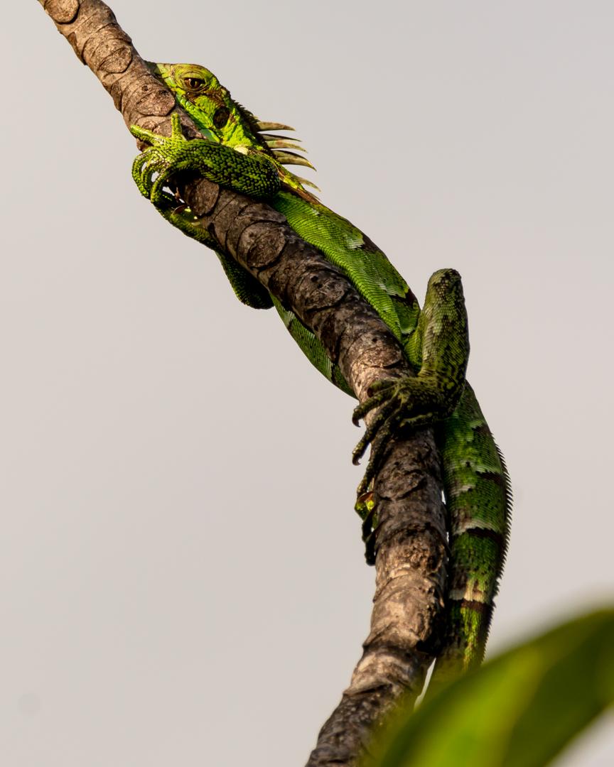 Green iguana (young)