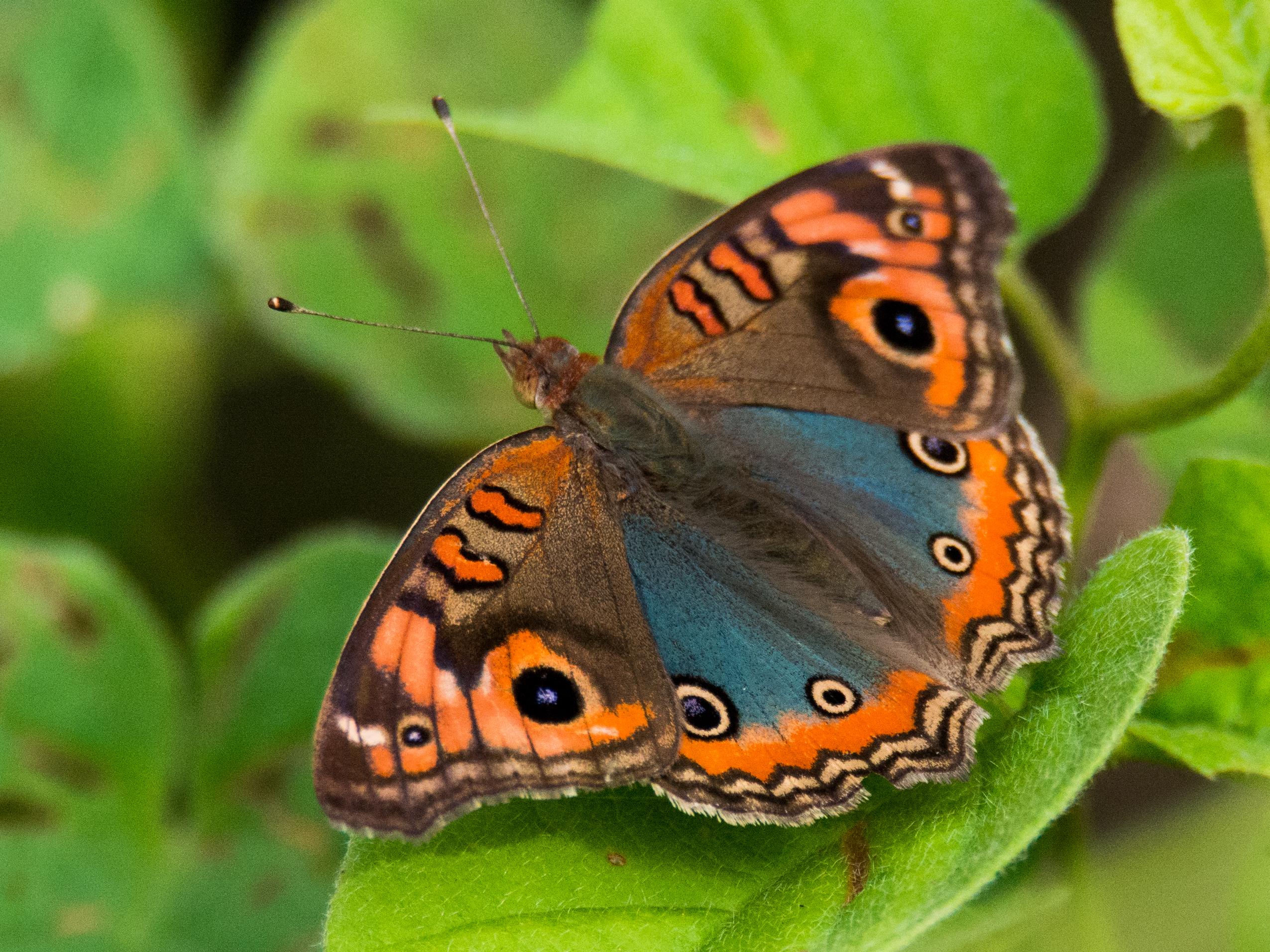 Mangrove Butterfly