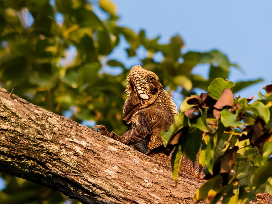Iguana verde (adulta)