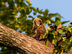 Green iguana (old)